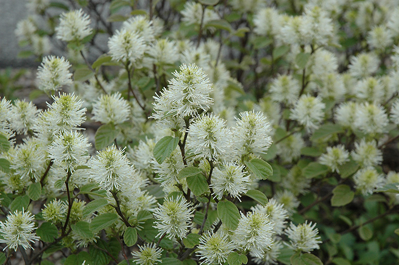 Beaver Creek Dwarf Fothergilla Gardenii Klmtwo At Harvard Nursery